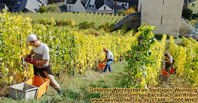 Golden wine autumn in the vineyrads near Bacharach on the Rhine River
